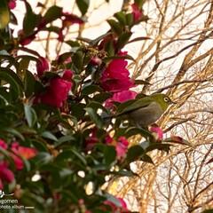 自然観察日記/山茶花とメジロ 山茶花とメジロ  今朝、山茶花に三羽のメ…