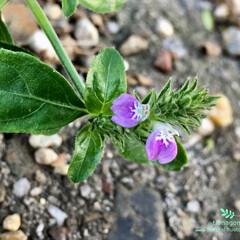 iPhone6s plus/自然観察日記/植物観察日記/狐の孫/キツネノマゴ/おでかけ キツネノマゴ(狐の孫)  小さい小さい花…