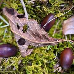 植物観察日記/落葉と小楢団栗/小楢団栗 枯葉と小楢団栗  ハイゴケの上に落葉と小…