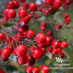 ナンテン/南天の実/南天/植物観察日記/紅い実の成る植物 ナンテン【南天】  紅くなった南天の実 …