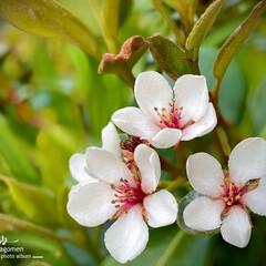 車輪梅/シャリンバイ/シャリンバイの花/植物観察日記 シャリンバイ【車輪梅】  少しづつ咲き出…