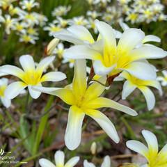 スパラキシス/植物観察日記 スパラキシス  こちらもスパラキシス満開…