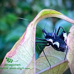 ヒメジュウジナガカメムシ/ヨコズナサシガメ/昆虫観察日記/カシコスカシバ 不思議な昆虫達  閲覧注意⚠です。 虫が…