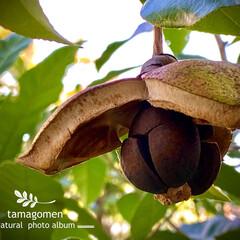 カンツバキ/寒椿/寒椿の実/植物観察日記 カンツバキ【寒椿】  寒椿の実が裂けて種…