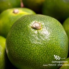 アオミカン/青蜜柑/植物観察日記 アオミカン【青蜜柑】  青蜜柑は小ぶりで…