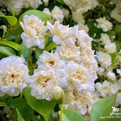 モッコウバラ/木香薔薇/白花木香薔薇/植物観察日記 モッコウバラ【木香薔薇】  白花木香薔薇…
