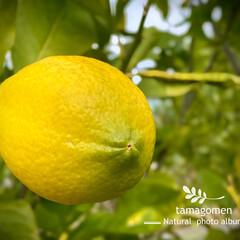 檸檬/レモン/植物観察日記 レモン【檸檬】  黄色に熟れてきた〜 (…