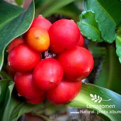 紅い実の成る植物/オモト/万年青/大本/植物観察日記 オモト【万年青・大本】  お花を撮影する…