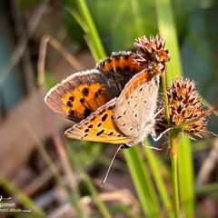 スズメヤリとベニシジミ/ベニシジミ/スズメヤリ/植物観察日記 スズメヤリとベニシジミ  橙色の斑紋が綺…