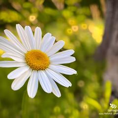 木春菊/マーガレット/植物観察日記 マーガレット【木春菊】  野生化したマー…