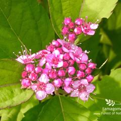自宅の小さな庭花/シモツケの花 シモツケ  ピンク色の小さなお花です ま…