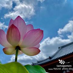 蓮の花/奈良・喜光寺/植物観察日記/花/蓮 奈良・蓮の喜光寺 ①  蓮の花を愛でに喜…