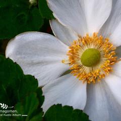自然観察日記/秋明菊/シュウメイギク/植物観察日記/iPhone6s plus シュウメイギク(秋明菊)  淑やかな感じ…
