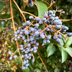 植物観察日記/公園/トウネズモチの実 トウネズモチ  黒っぽい実がたくさん付い…