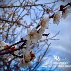 冬桜/植物観察日記 フユザクラ【冬桜】  この季節華やかなお…(2枚目)