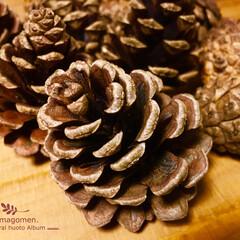 天然素材/リース素材/松ぼっくり/LIMIAな暮らし 松ぼっくり  秋らしくなってきていますね…
