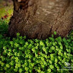 奈良市/カタバミ/片喰/植物観察日記/おでかけ/川路桜 川路桜と片喰   黄色の花を咲かせる片喰…