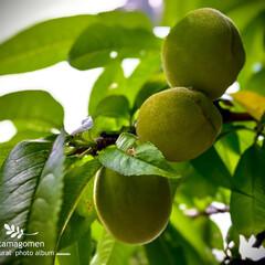 植物観察日記/花桃/花桃の実/ハナモモ ハナモモ【花桃】  今年もたくさん実にな…