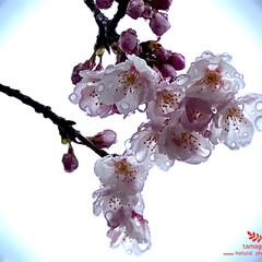 植物観察日記/桜/雨に濡れる桜 雨に濡れる桜  桜の花弁に雨粒が透けてと…