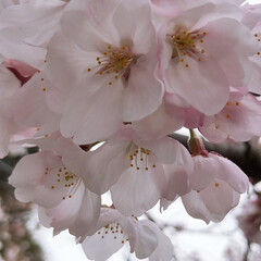 さくら/おでかけ 今年はコロナの影響で花見できないね😢 き…(2枚目)