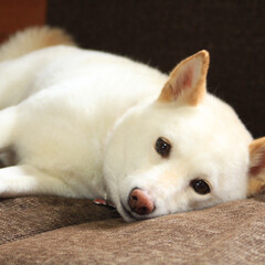愛犬/柴犬/ペット/犬 ただゴロゴロしてるだけなのにまん丸な目で…(1枚目)