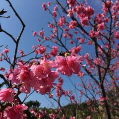サクラ/沖縄/おでかけワンショット 沖縄は2月には鮮やかな色のサクラ「ヒカン…