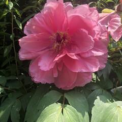 我が家の庭/暑い💦/stay home/カラー/牡丹/花 庭に花が咲くとうれしい❤️ (2枚目)