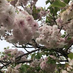 山から海/休みもあと少し/ゴールデンウィーク/海辺/八重桜/stay home/... ウォーキング中、八重桜がまだ咲いてた🌸 …
