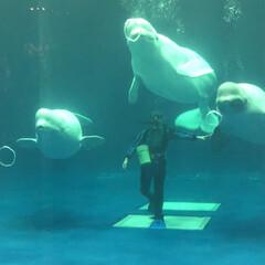 アクアス/バブルリング成功/アシカ親子/水族館が好き/ペンギン/白イルカ/... 久しぶりに水族館へ行きました。 こんなに…(1枚目)