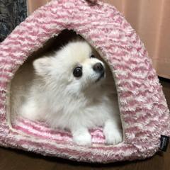 ペットハウス/秋冬/ポメラニアン大好き/ポメラニアン/犬のいる暮らし 寒くなってくるとこのお家に入る様になりま…