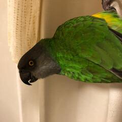 もふもふ/ネズミガシラハネナガインコ/インコのいる暮らし/鳥との生活 頭はグレーだけど、逆さまになると綺麗な色…