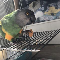もぐもぐタイム/鳥との生活/オウム/鳥かご/ネズミガシラハネナガインコ もぐもぐタイム😋 みかんが大好きなぴぃさん