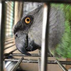 鳥かご/ペット/オウム 鳥かごにつかまって、こちらをガン見してま…