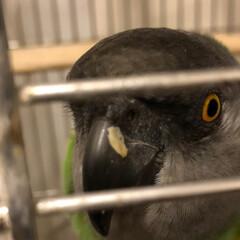 鳥かご/オウム/もふもふ びぃちゃん😋 クチバシにごはん付いてるよ。
