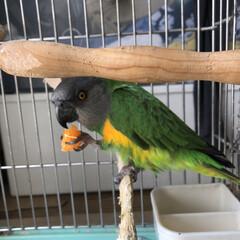 鳥との生活/オウム/ネズミガシラハネナガインコ/鳥かご/ペット 今日もみかんを食べてる。 ぴぃさん