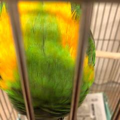 もふもふ/ネズミガシラハネナガインコ/インコのいる暮らし/鳥との生活 頭はグレーだけど、逆さまになると綺麗な色…(3枚目)