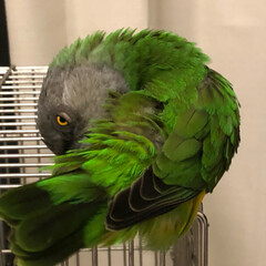 オウム/もふもふ/小鳥との生活 もふもふだわ。あーたまんないわ。 😆触り…(2枚目)