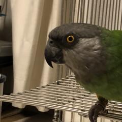 エキゾチックアニマル/鳥かご/ネズミガシラハネナガインコ/オウム/ペット りりしいお顔のぴぃさん。こう見えても、女…