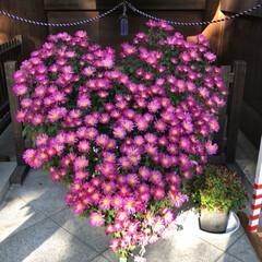 鳥かご/ネズミガシラハネナガインコ/ペット 神社で見た菊盆栽、なんとなくぴぃさんの後…