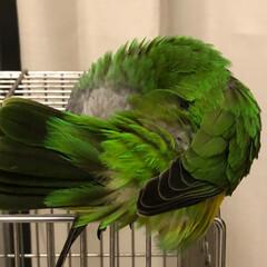 オウム/もふもふ/小鳥との生活 もふもふだわ。あーたまんないわ。 😆触り…(3枚目)