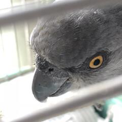 鳥かご/ネズミガシラハネナガインコ/オウム/ペット 😑ぴぃさんはいつ見ても、お顔立ちがりりし…