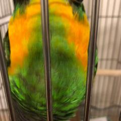 もふもふ/ネズミガシラハネナガインコ/インコのいる暮らし/鳥との生活 頭はグレーだけど、逆さまになると綺麗な色…(2枚目)