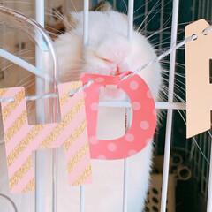 くぅちゃん/ミニウサギ/ウサギ/うさぎ/LIMIAペット同好会/ペット/... くぅちゃん♥️  3/20 くぅちゃんH…(3枚目)