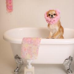 LIMIAペット/パヤ/チワワ/ペット/犬/うちの子ベストショット お風呂ショット!
