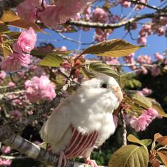 桜/ダイソー/セリア 桜散る前に地元散歩😊(1枚目)
