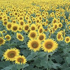 向日葵 ひまわり畑