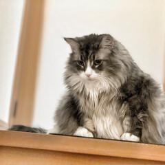 フォロー大歓迎/ペット/ペット仲間募集/猫/にゃんこ同好会/100均/... さくらさんは階段の際が大好きです!落ちな…