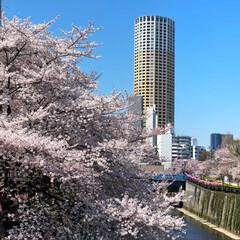 桜/フォロー大歓迎/わたしのごはん/猫/にゃんこ同好会/おでかけ/... 目黒川の桜を見に行ってきました。初めて見…