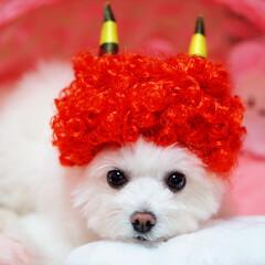 しふぉん/ポメマル/ポメラニアン/マルチーズ/ミックス犬/ペット/... 赤鬼ちゃん♡ あら、意外と可愛い( *´…