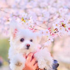 ポメマル/しふぉん/春の一枚/LIMIAペット同好会/LIMIAおでかけ部/フォロー大歓迎/... 桜としふぉんたん♡  見た目も性格も 男…